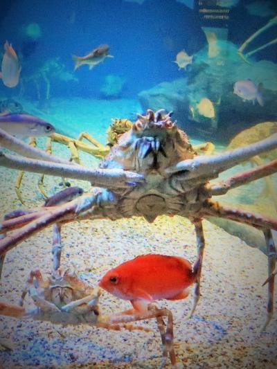 大阪17 海遊館j   タカアシガニ 日本海溝 神秘の深海生物 ☆ダイオウグソクムシに大接近