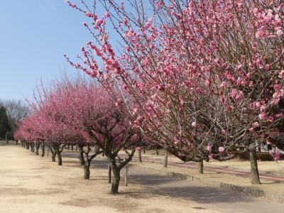 「熊谷さくら運動公園」のウメ_2019_ピンクの梅は見頃、白と赤は咲き始め(埼玉県・熊谷市)