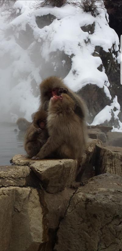 冬の渋温泉・金具屋&スノーモンキー満喫の旅①(スノーモンキーに癒されまくった編)