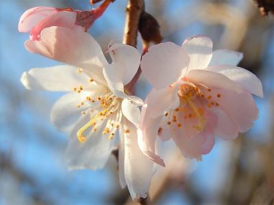 美しかった十月桜その後(2月13日観察)