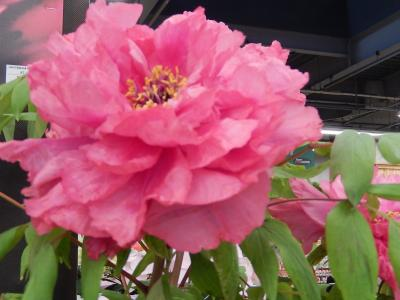 ガーデンセンターで見られた春の花⑬