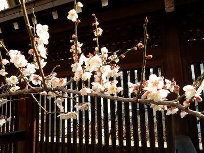 「 東京に春が-----! 湯島天神 梅まつり 」2019