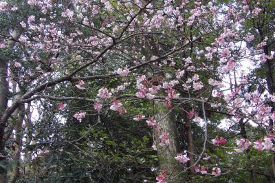 鶴岡八幡宮・流鏑馬馬場の寒桜