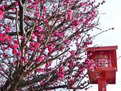 「朝日森天満宮」のウメ_2019_数本が咲き始め、その他の多くは未だ蕾(栃木県・佐野市)