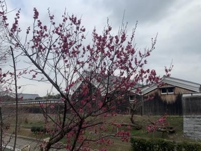 まだ早い梅を!御幸宮さんなど伏見界隈の散策!