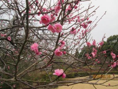柏の葉公園・19年2月・梅満開