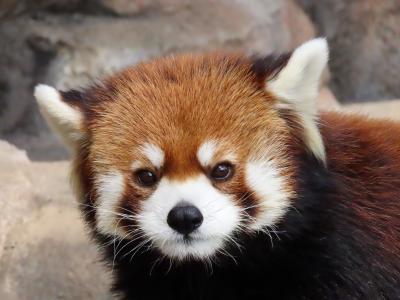冬のレッサーパンダ紀行【10】 神戸市立王子動物園 王子に来てくれて本当にありがとう・・・ミンファちゃん王子での最後の週末