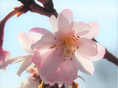 美しかった冬桜その後(2月16日観察)
