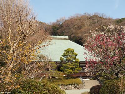 如月の鎌倉花散歩
