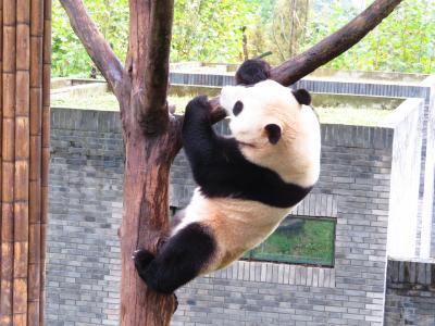 へへっ、落ち無いよ!!2018年10月大熊猫保護研究中心都江堰基地・都江堰 中国成都周辺 5泊6日1人旅(個人旅行)5