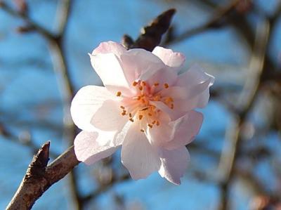 美しかった十月桜その後(2月17日観察)