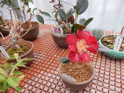 食と緑の空中庭園を訪問②誠香園で花木の鉢植えを見る