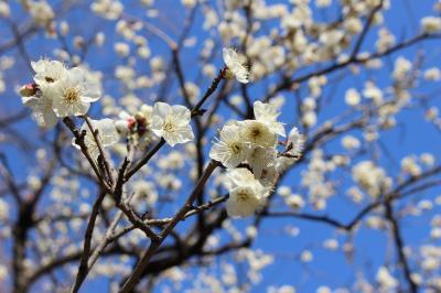 東京散歩、護国寺・東京大神宮・神楽坂・小石川後楽園~少し春を感じました。