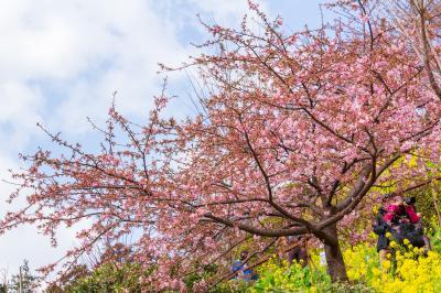 河津サクラを楽しみに2019年春~まつださくらまつりとアグリパーク嵯峨山苑~