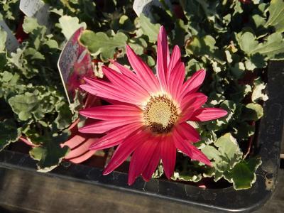 ガーデンセンターで見られた春の花⑮