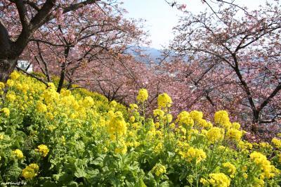 河津桜と菜の花が春色に染める松田山
