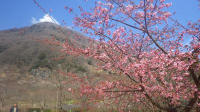 梅は咲いたか桜はまだか、どちらも楽しめる伊豆2 湯河原梅林