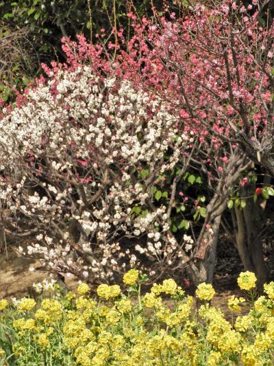 早咲きの梅の花が見頃を迎えた須磨離宮公園