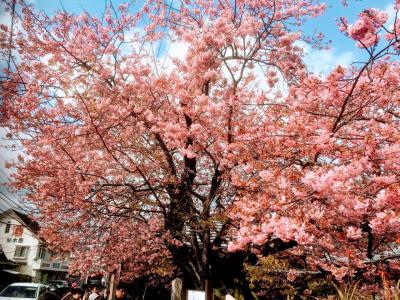 伊豆旅行2日目 河津桜にわさび丼