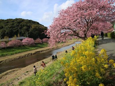 河津桜と菜の花畑 南伊豆