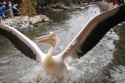 神戸レッサーパンダと神戸牛グルメの旅(6)神戸どうぶつ王国(後編)ペリカンフライトや鳥・イヌのパフォーマンスショーなど楽しかったイベントを再び!&新設のロッキーバレーやアウトサイドパークからアクアバレーの美しきカピバラのバラ温泉や熱帯の森と湿地まで