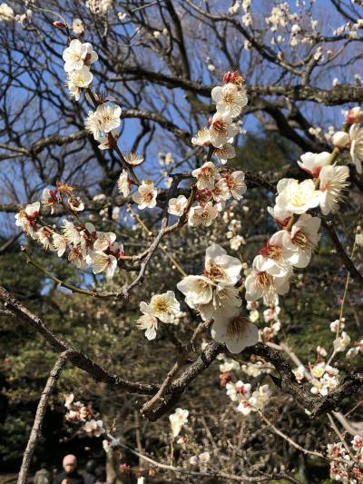 梅の花咲く小石川後楽園へ