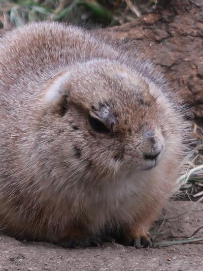 上野動物園-4 オグロプレーリードッグ・アメリカバク ☆南北アメリカ大陸の固有種