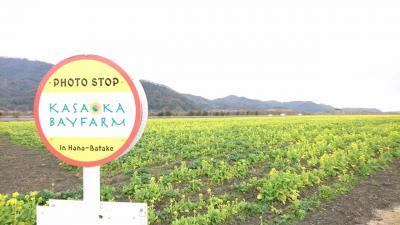 岡山☆笠岡ベイファームの菜の花