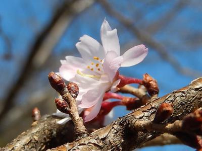 美しかった十月桜その後(2月20日観察)