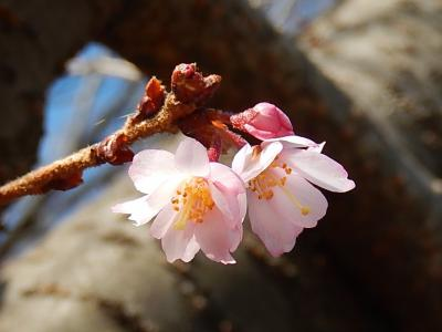 美しかった冬桜その後(2月20日観察)