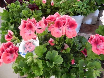 ガーデンセンターで見られた春の花⑯