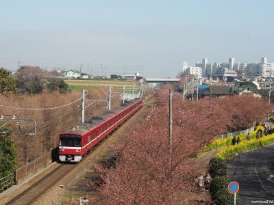 三浦海岸 桜まつり:河津桜と菜の花と京急電車が楽しめます