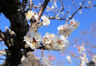 印西市散策(8)・・県立印旛沼公園の梅園を訪ねます。