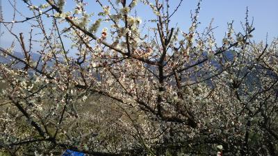 一目百万、香り十里。和歌山県の南部梅林が満開でした!