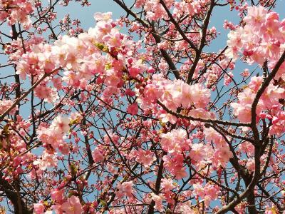 三浦海岸 河津桜 さくら祭り