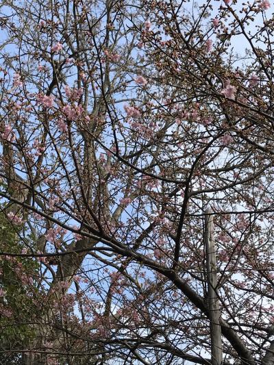花を求めて⑥河津桜を探して。千葉県市川市巡り。