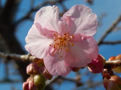 やっと咲き始めたふじみ野市鶴ケ岡中央通りの河津桜