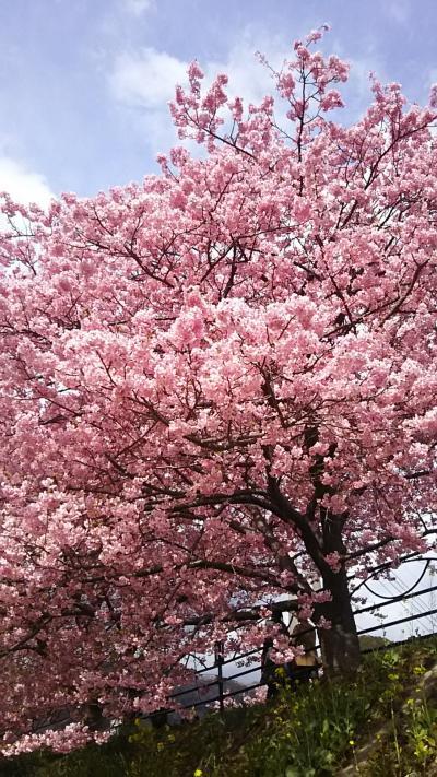 桜満開の河津へGO!