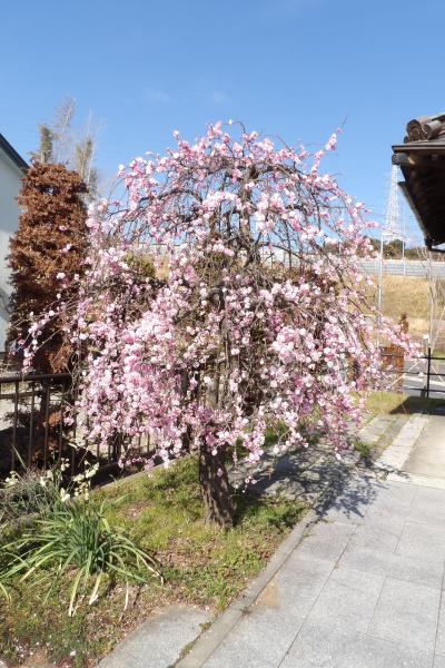 坂下第六天神社の紅枝垂れ梅