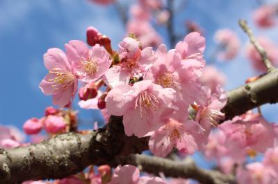 まつだ桜まつり、もうすぐ満開