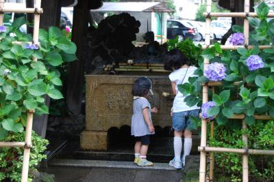 ひとりお花見部 文京区白山神社で 紫陽花のお花見