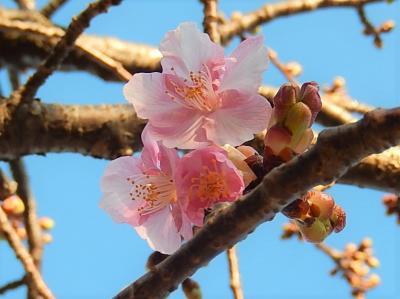 やっと咲き始めた鶴ケ岡中央通りの河津桜その後(2月23日観察)