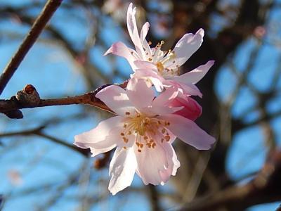 美しかった十月桜その後(2月23日観察)