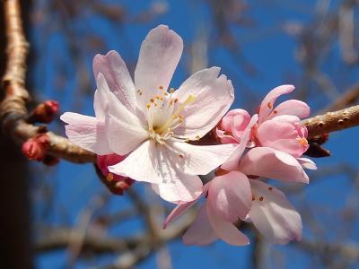 美しかった冬桜その後(2月23日観察)