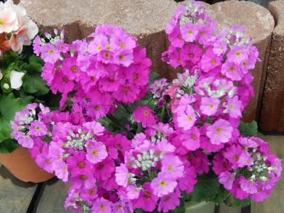 ガーデンセンターで見られた春の花⑱