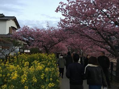 河津桜といちご狩り  春のバスツアー大渋滞の旅!