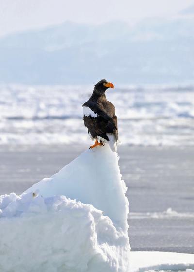 2019年2月野鳥撮影記録  Ⅵ 羅臼流氷と野付半島