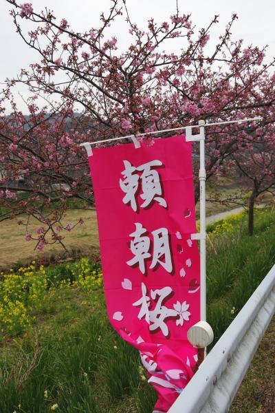 千葉・鋸南町の頼朝桜と千倉の花摘み。南房総はもう春が来ています。