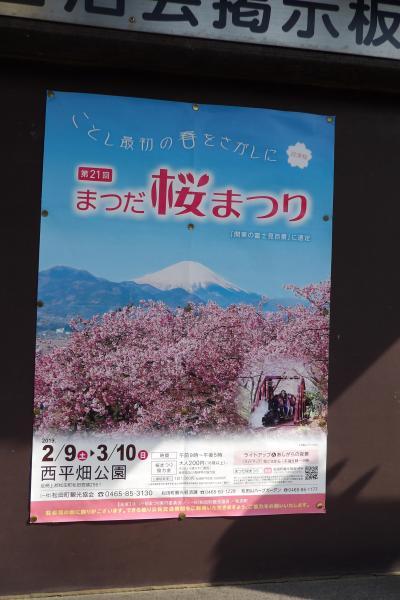 まつだ桜まつり-河津桜と菜の花の競演