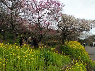 湯河原幕山公園の梅祭り